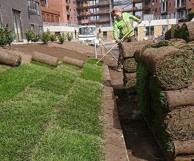 Udlægning af rullegræs